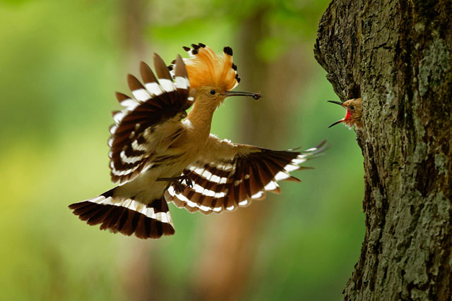 Hoopoe Feeding Its Chicks