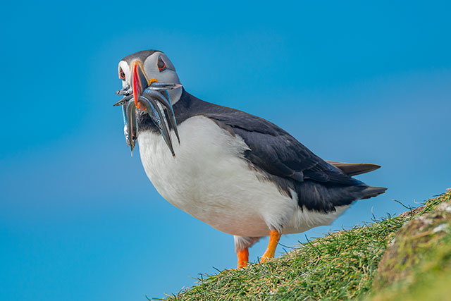 Puffin With Fish In Its Mouth