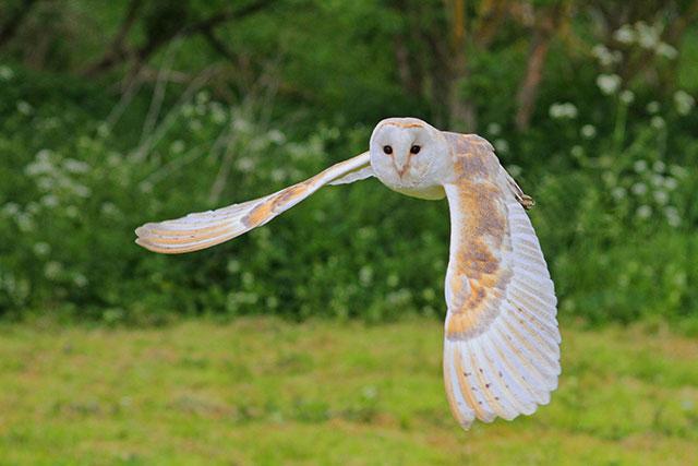 barn-owl-1