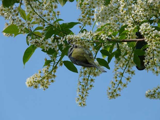 Blue Tit In Cherry Tree