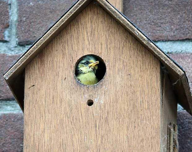Blue Tit In Bird Box