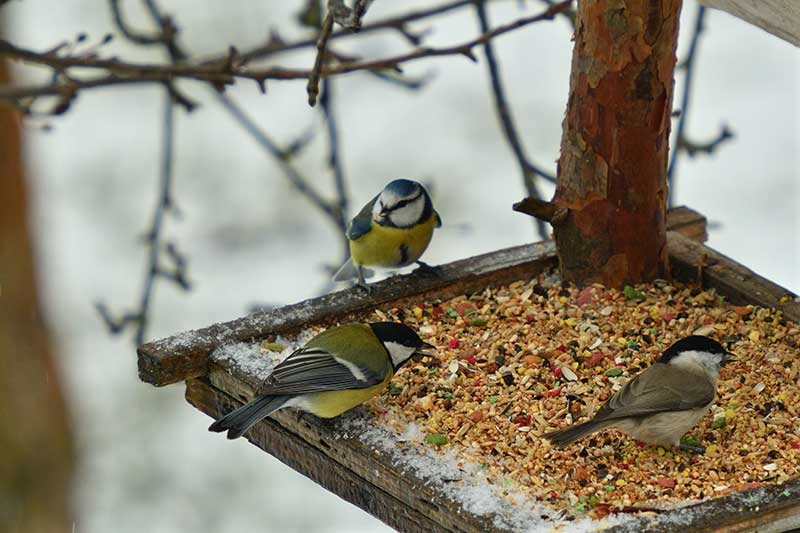 Tits On A Bird Table