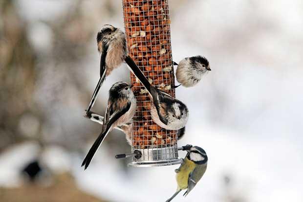 Birds At Peanut Feeder