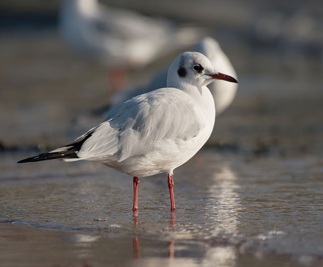 Black-Headed Gull