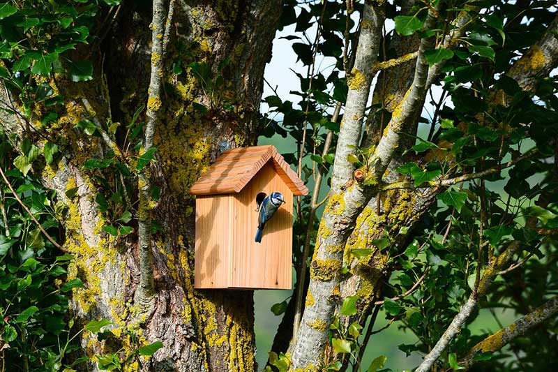 Blue Tits At A Bird Box