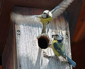 Blue Tits In A Nest Box