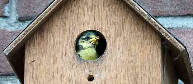 Chick In A Bird Box