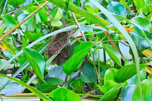 Common Tailorbird Nest