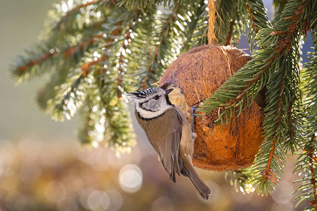 Crested Tit Feeding From Coconut