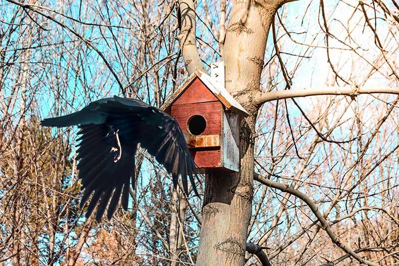 Crow Approaching A Bird Box
