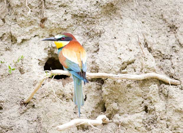 European Bee-Eater Nest