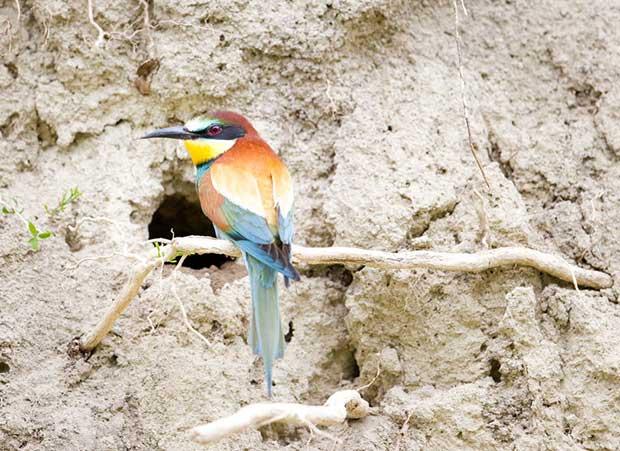 European Bee-Eater Nest