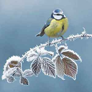 First Frost RSPB Christmas Cards