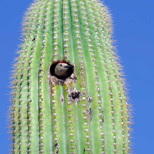 Gila Woodpecker Nest
