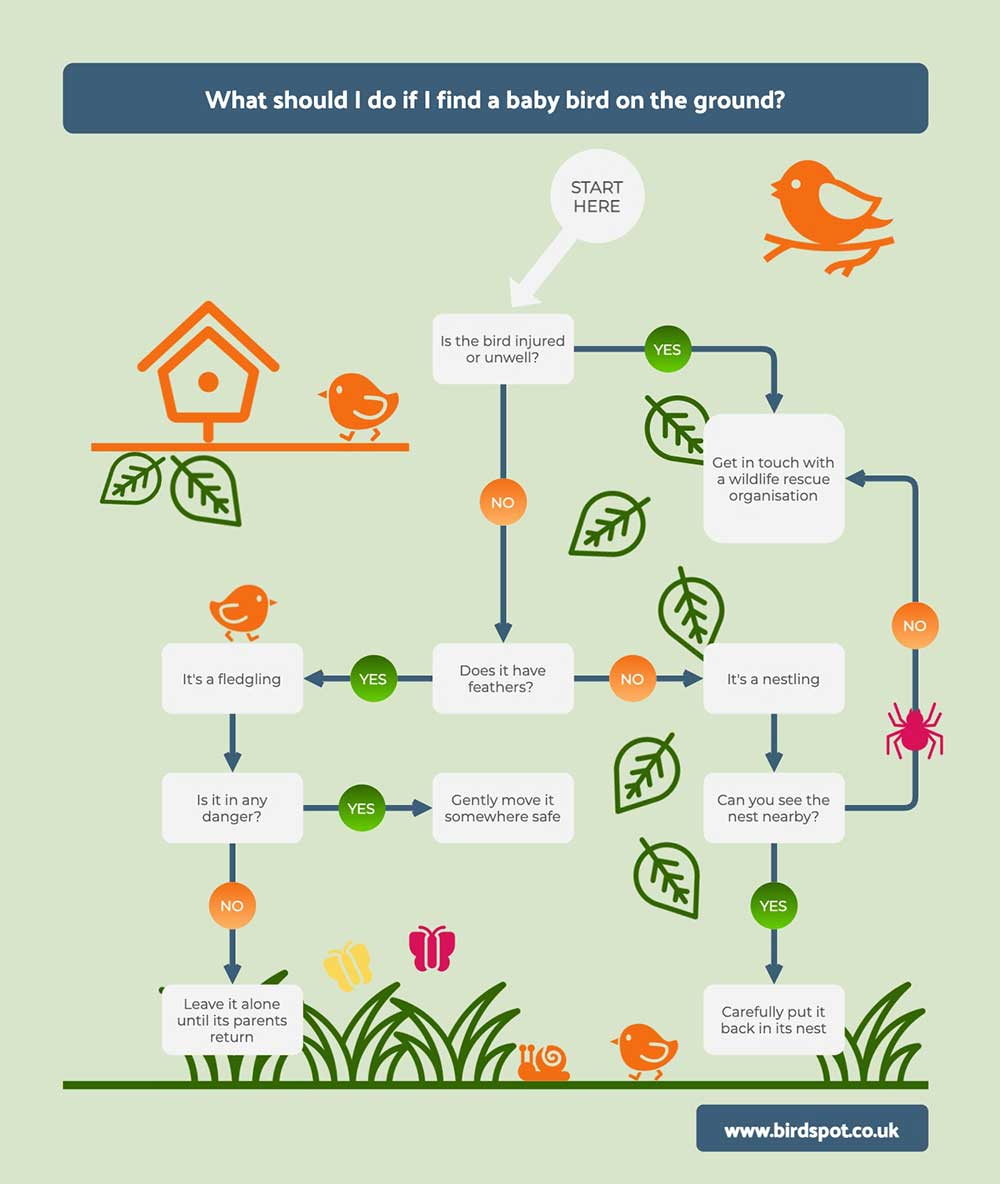 Helping Baby Birds Infographic