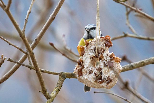 Blue Tit At Bird Feeder