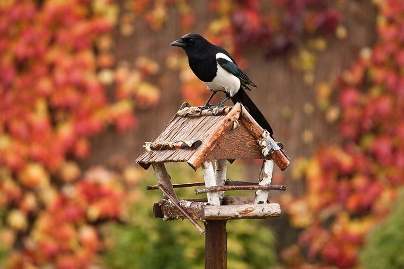 Magpie On A Bird Table