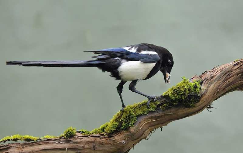 Magpie Branch