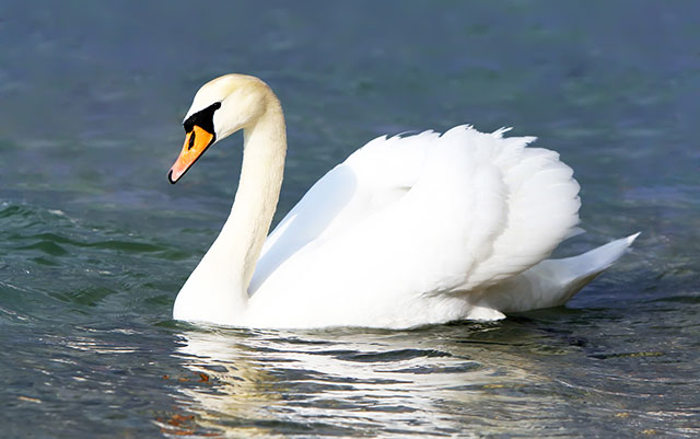 can-swans-get-aggressive-and-harm-or-kill-humans