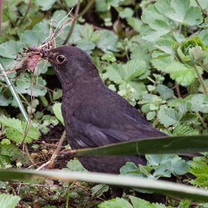 Blackbird Carrying Nesting Material