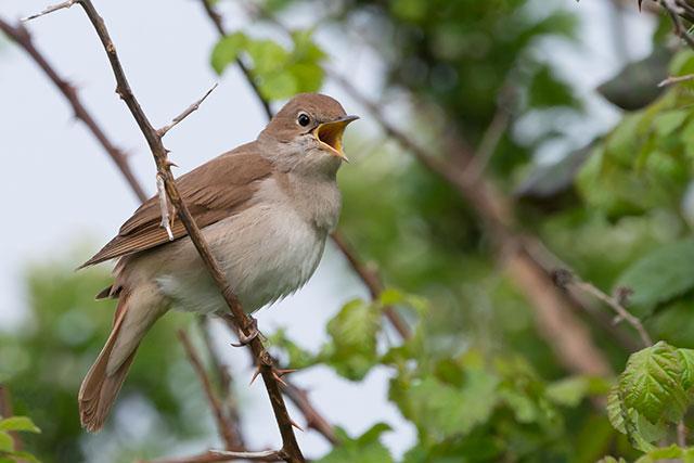 nightingale-2