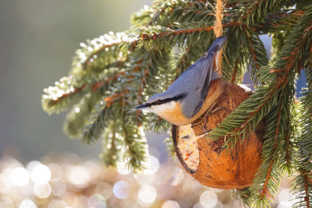 Nuthatch On Coconut Bird Feeder
