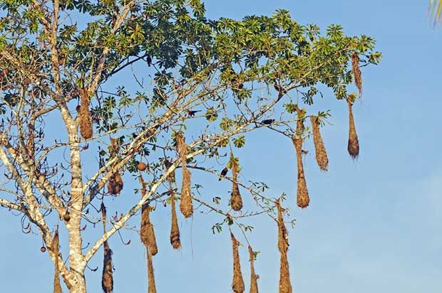 Montezuma Oropendolas' Nests