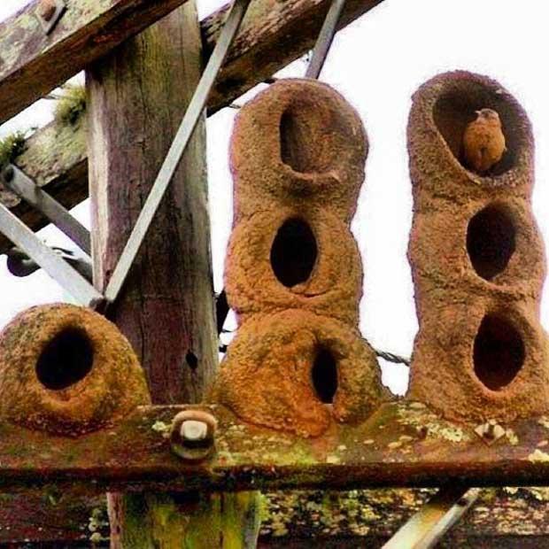 Red Ovenbird Nest