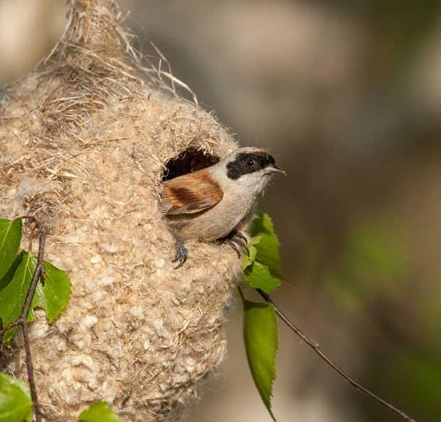 Eurasian Penduline Tit Nest