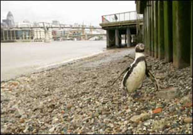 Penguin By The Thames