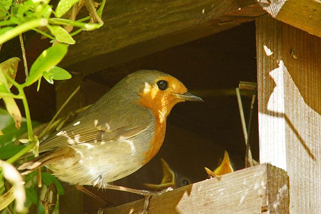Robin Feeding Chicks