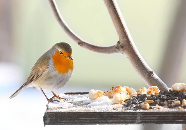 Robin Eating Kitchen Scraps