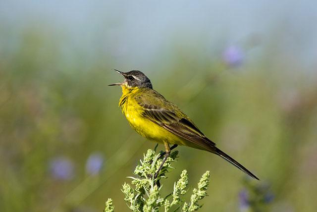 Singing Yellowhammer
