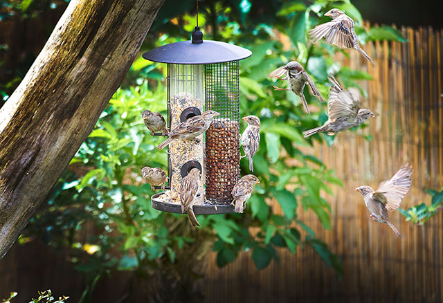Sparrows At A Bird Feeder