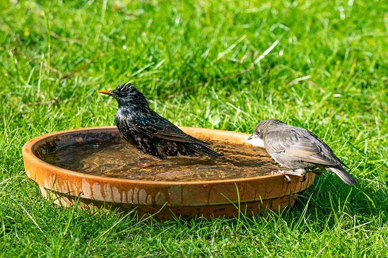 Starlings In A Bird Bath