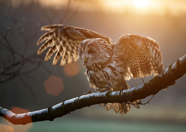 Tawny Owl At Sunset