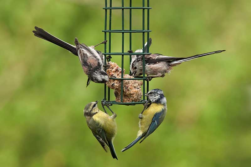 Tits At A Bird Feeder