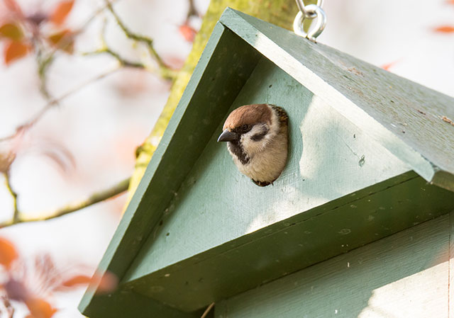 Tree Sparrow In Bird Box