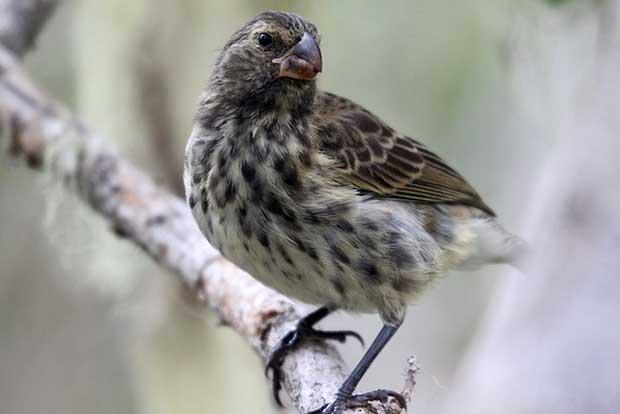 Vegetarian Finch