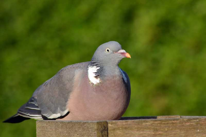 Wood Pigeon On A Bird Table