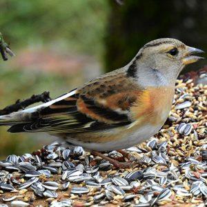 Brambling Eating Bird Seed