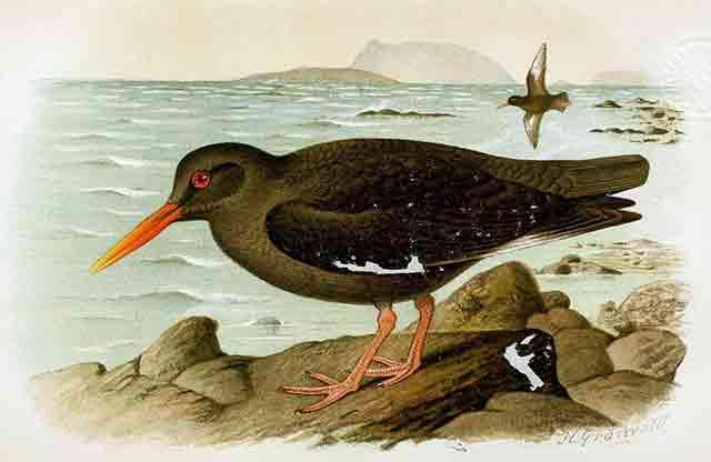 Canarian Oystercatcher