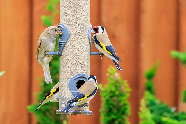 Goldfinches Eating Sunflower Hearts