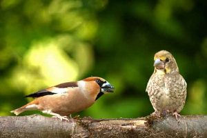 Adult Hawfinch With Chick