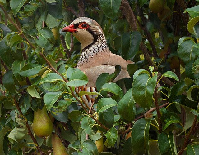 partridge-pear-tree