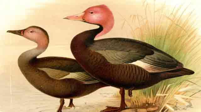 Pink Headed Duck