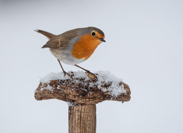 Robin On A Fork Handle