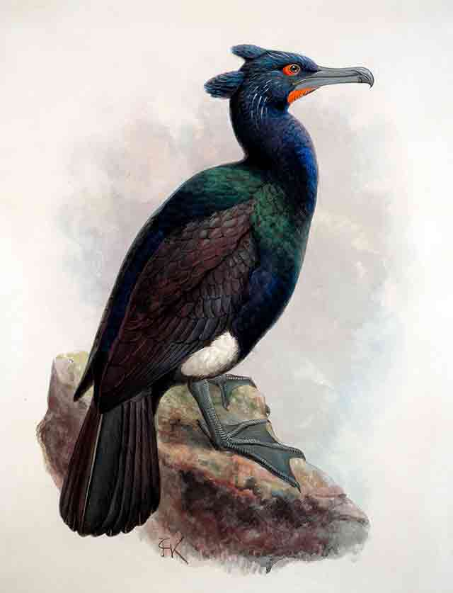 Spectacled Cormorant