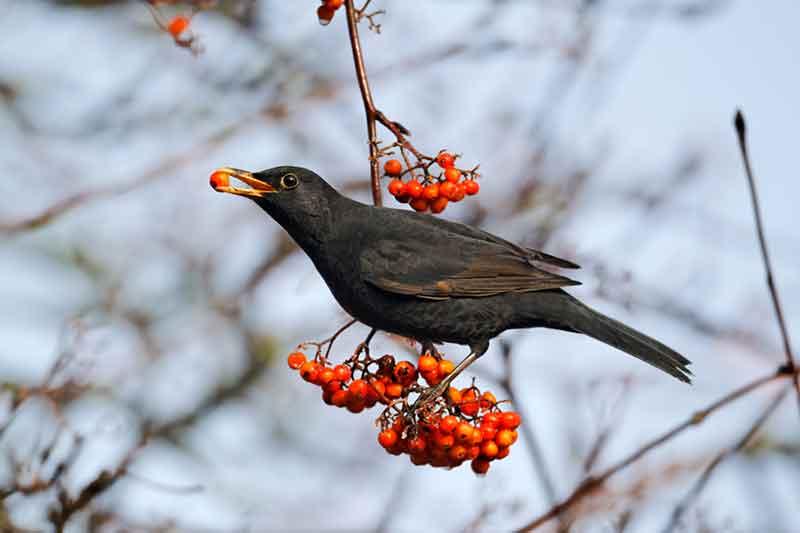 Blackbird In A Roan Tree