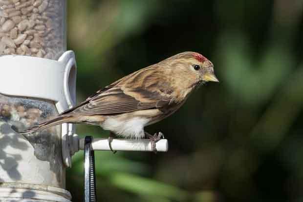 Bird Eating Sunflower Hearts